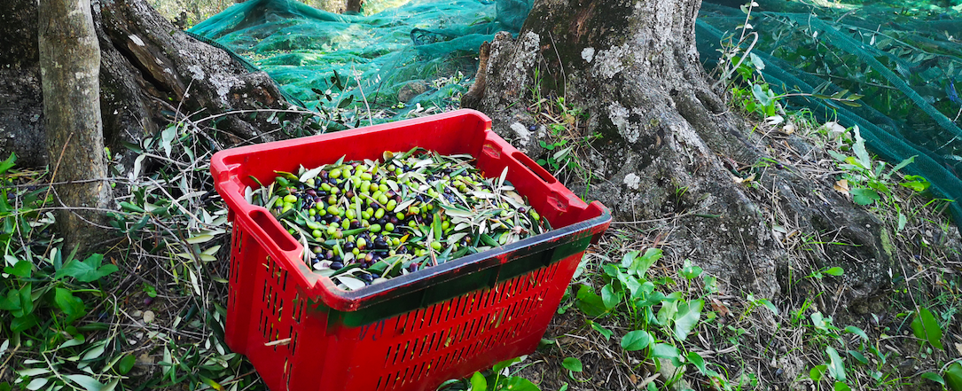 Le olive taggiasche