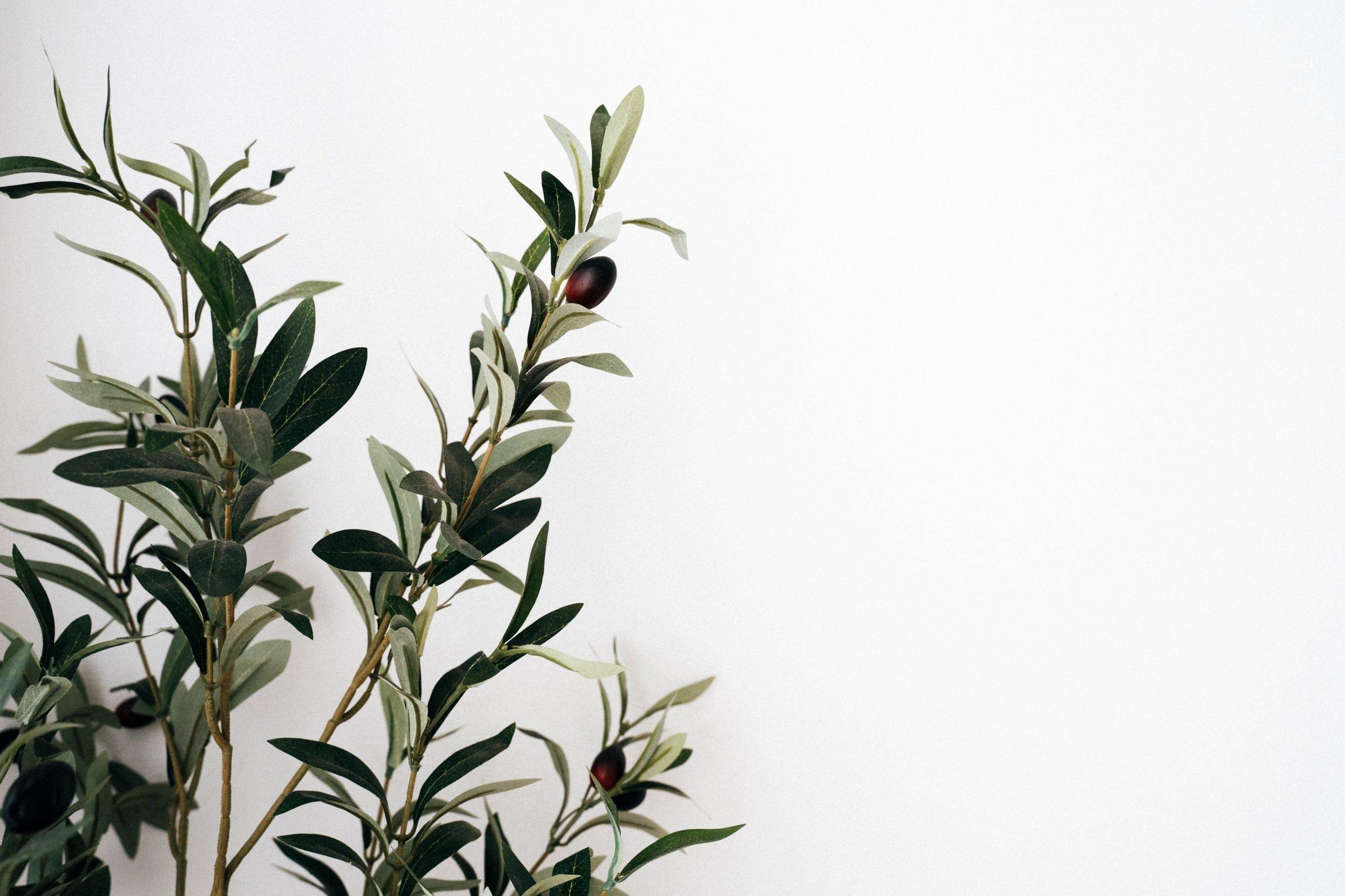 Le virtù dell'oliva taggiasca